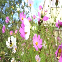 Summer Morning. Closeup. A lot of flowers before country house. Village house Stock Footage