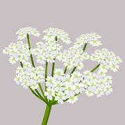 Daucus carota, common names wild carrot, bird s nest, bishop s lace or Queen An Stock Illustration