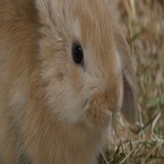 Baby Rabbit Brown Close Up Stock Footage