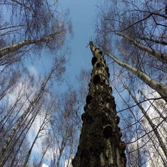 Dead birch tree with mushrooms, time lapse 4K Stock Footage