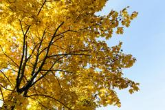 Maple trees in the fall Stock Photos