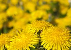 Yellow dandelions in spring Stock Photos