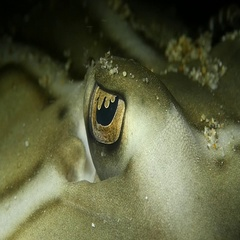Stingray eyeball up close Stock Footage