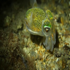 Psychedellic Dumpling cuttlefish Stock Footage