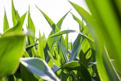 Field with corn Kuvituskuvat