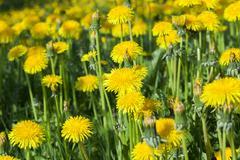 Yellow dandelions in spring Stock Photos