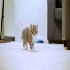 Tiny Cute Kitten Walking Towards Camera Looking Around Stock Footage