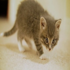 Tiny Cute Kitten Sitting And Looking Around The Room Stock Footage