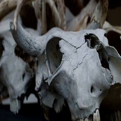 The skull of a buffalo, cow Stock Footage