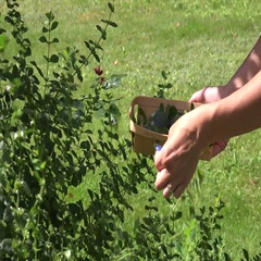 Herbalist hands picking mint herb plant leaves to wicker dish in garden. 4K Stock Footage