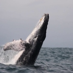 Humpback Whale Watching Stock Footage