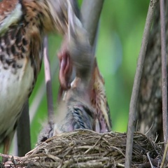 Thrush Fieldfare (Turdus pilaris) feeding chicks and clean the nest of turds Stock Footage