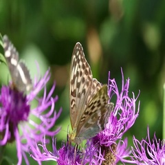 Butterfly Heath fritillary butterfly is on a brown knapweed flower Stock Footage