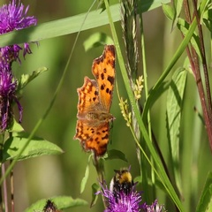 Butterfly Comma (Polygonia c-album) is on a purple flower Stock Footage