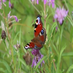 Butterfly European Peacock (Aglais io) on the background of green grass Stock Footage