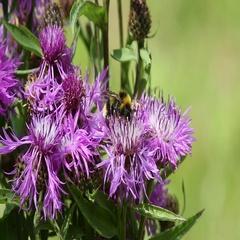 Bumblebee on a brown knapweed flower Stock Footage