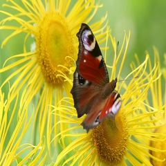 Butterfly European Peacock (Aglais io) on a Elecampane flower Stock Footage