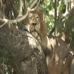 Male lion taking a nap over tree, flat color Stock Footage