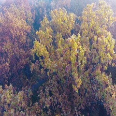 Aerial flight over autumn forest covered with fog, foggy autumn forest, yellow Stock Footage