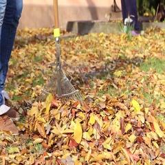 Cleaning rake autumn leaves Stock Footage