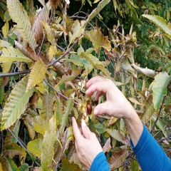 Harvesting edible chestnut from the tree Stock Footage
