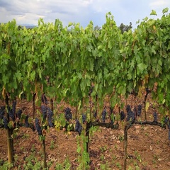 Montalcino vineyard landscape Stock Footage