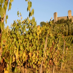 Vineyard and fort of Monteriggioni, Tuscany, Italy, EU, Europe Stock Footage