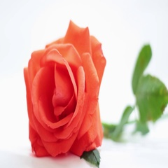 Natural red rose isolated on a white background. Focus pulling. Stock Footage
