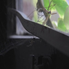 Spider Webbing Mosquito. Stock Footage
