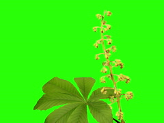 4K. Blooming chestnut branches flower buds green screen, Ultra HD Stock Footage
