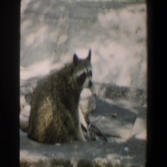 1964: on the snow covered ground, a lone raccoon sniffs the air and looks around Stock Footage