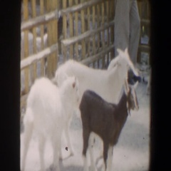 1964: there are 2 white goats, and 2 mixed color goats with 2 guys feeding one Stock Footage