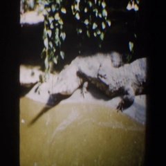 1964: a crocodile resting on the sandy shore of the river SAINT LOUIS MISSOURI Stock Footage