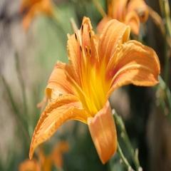 Details of Hemerocallis fulva tiger flower bud in the garden Stock Footage