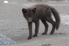 Young Commanders blue arctic fox standing on a sandy beach Stock Photos