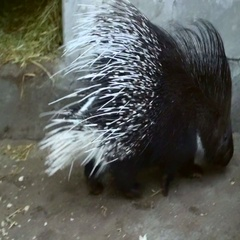 Two porcupine in a cage Stock Footage