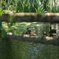Wild ducks swimming in calm shadowed lake water at sunny summer day Stock Footage