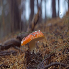 Close up of hand picks a fly agaric mushroom in the forest Stock Footage