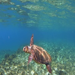 Underwater green sea turtle (Chelonia mydas) take a breath and bye Stock Footage