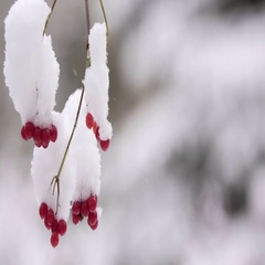 Viburnum berries in winter. Snow. A guelder-rose close up in snow. The guelder Stock Footage