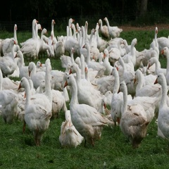 Geese on the pasture of a poultry farm. Stock Footage