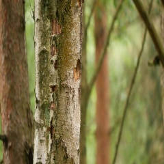 Great Spotted Woodpecker Feeding its Young in a Hollowed Tree Stock Footage