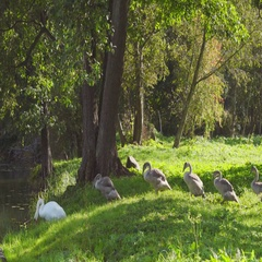 Young swans follow their parents into the lake Stock Footage