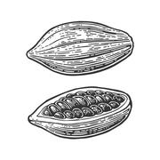 Fruits of cocoa beans. Vector vintage engraved illustration Stock Illustration