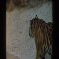 1961: a large tiger walks around in it's enclosure BURBANK, CALIFORNIA Stock Footage