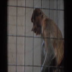 1961: monkey in a cage eating BURBANK, CALIFORNIA Stock Footage