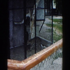 1960: a tiger walking back in fourth inside its cage at the zoo MIAMI, FLORIDA Stock Footage