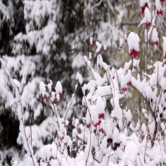 Guelder-rose branches in the winter in snow. Big snow-covered branches of a Stock Footage