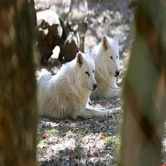 White Arctic Wolf Couple Closeup Stock Footage