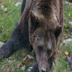 Big brown bear lying on the ground Stock Footage